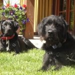 Briard Labrador Cross