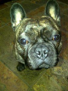 french bulldog chunky
