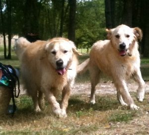 golden retrievers maximus and rudi