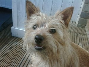 norfolk terrier milo