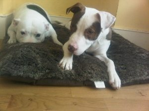 staffordshire bull terriers riku and precious