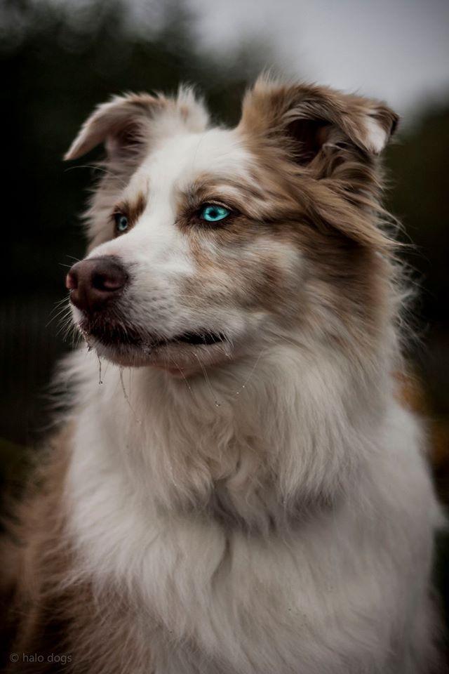 Australian Shepherd Murphy Halo Dogs