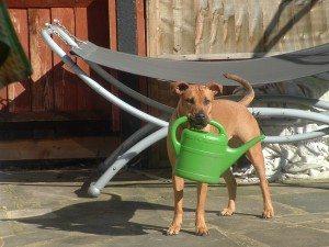 Bull Mastiff English Bull Terrier Cross