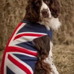 Rugby English Springer Spaniel